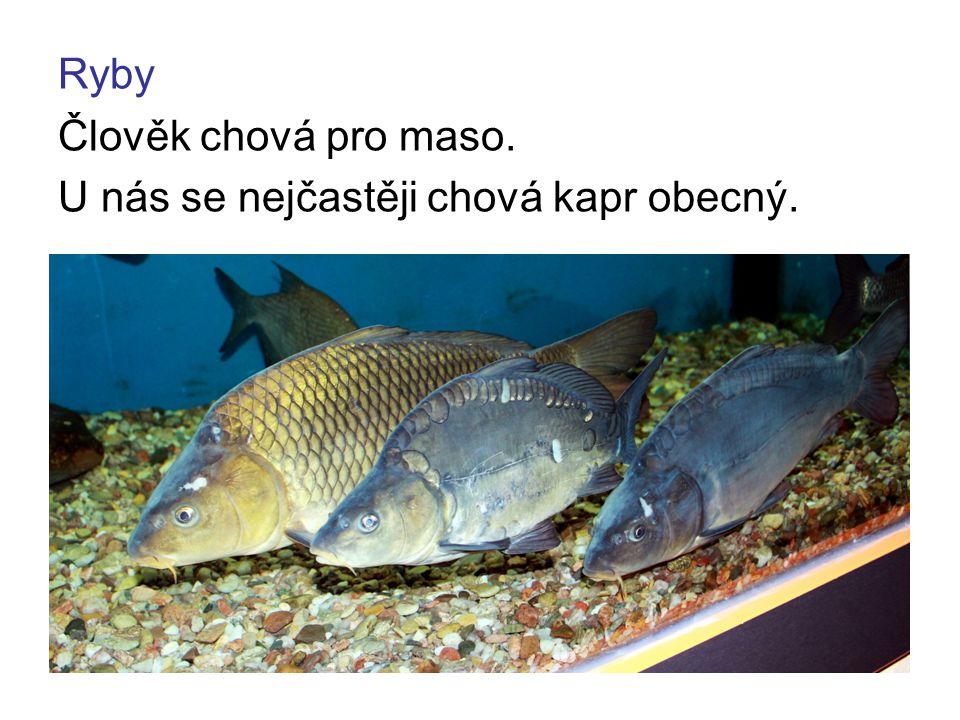 Ryby Člověk chová pro maso. U nás se nejčastěji chová kapr obecný.