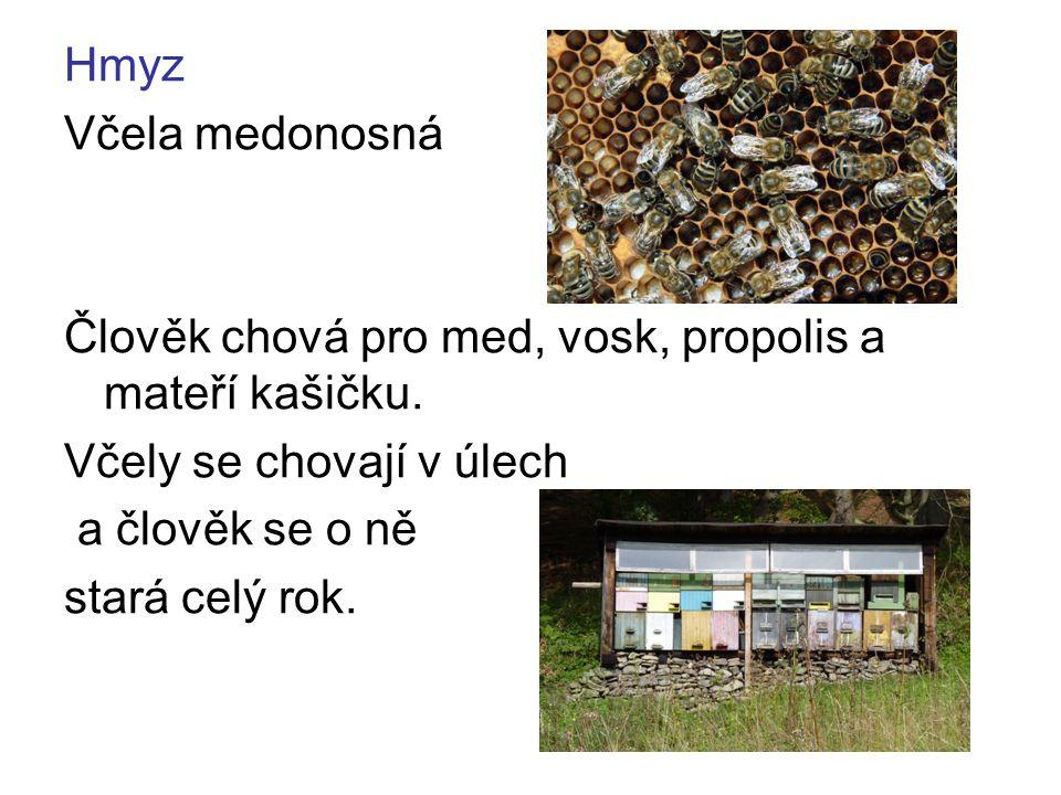 Bourec morušový Z jeho kokonů (zámotků kukel) se získává přírodní hedvábí.