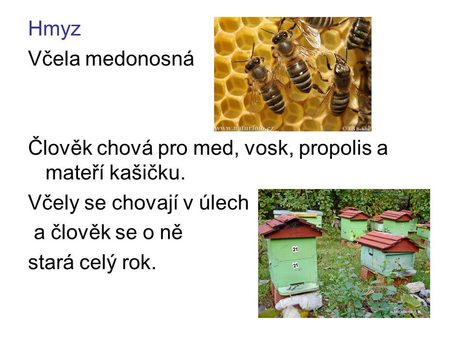 Hmyz Včela medonosná Člověk chová pro med, vosk, propolis a mateří kašičku. Včely se chovají v úlech a člověk se o ně stará celý rok.