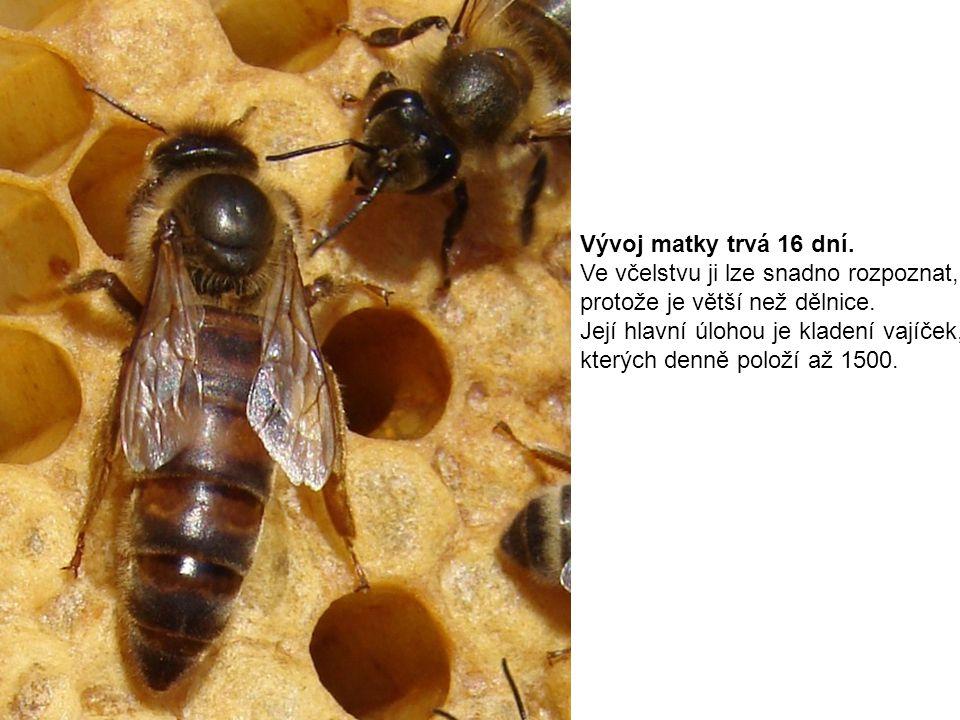 Vývoj matky trvá 16 dní. Ve včelstvu ji lze snadno rozpoznat, protože je větší než dělnice. Její hlavní úlohou je kladení vajíček, kterých denně polož