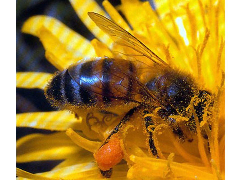 Použité zdroje: včela medonosná[online].[cit. 2012-11-20].