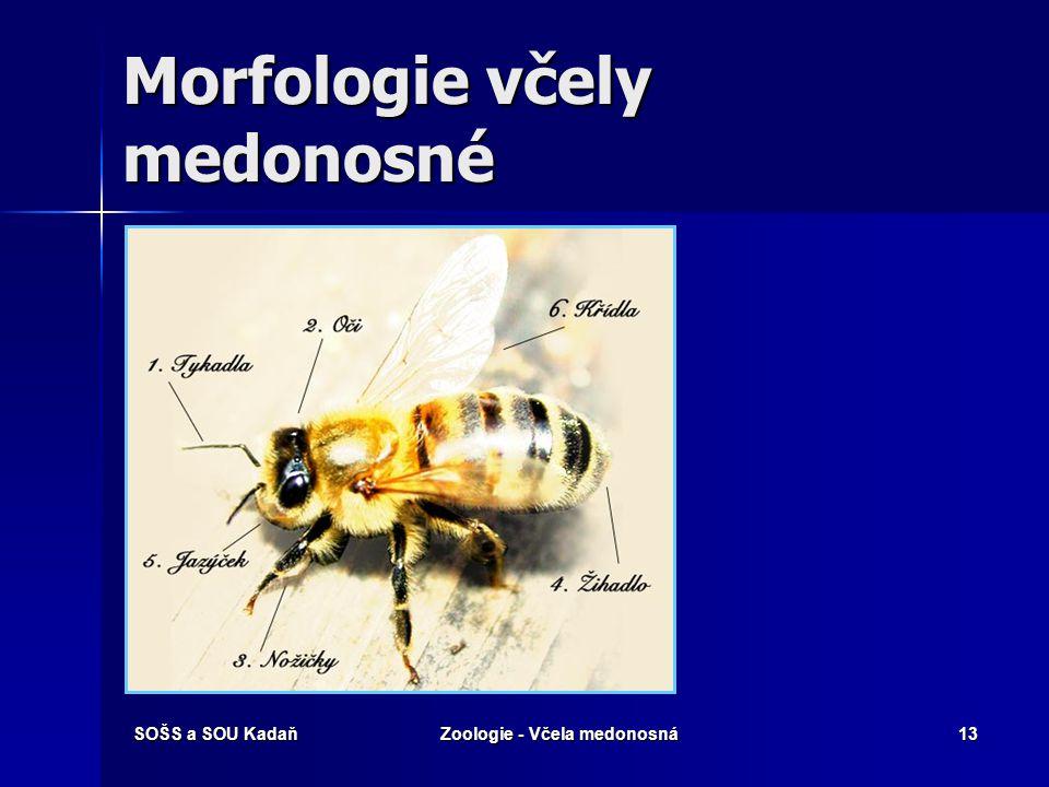 SOŠS a SOU KadaňZoologie - Včela medonosná12 Vývoj – proměna dokonalá (holometabolie) Vajíčka jsou dvojí: Vajíčka jsou dvojí: –Oplozená: z nich se líh