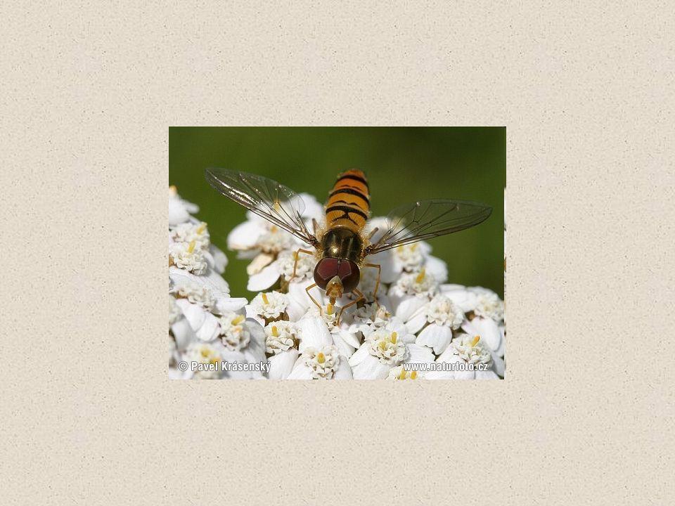 BLANOKŘÍDLÍ 2 páry blanitých křídel 3 jednoduchá očka, 2 složená větší na zadečku samiček kladélko u vos a včel – přeměněné na žihadlo širopasí – pilatky, pilořitky štíhlopasí – hruď a zadeček spojuje stopka lumci, žlabatky, mravenci vosy, sršeň, čmelák, včela