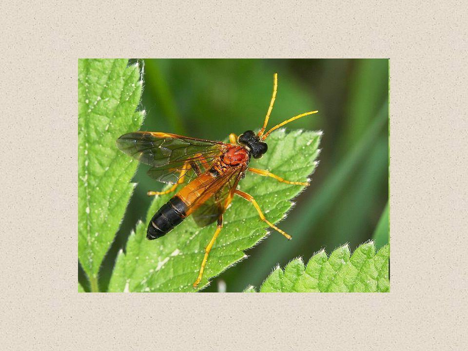 """Včelí produkty MED – nektar květů, či medovice + výměšky hltanových žláz medovice – producenti mšice již částečně zpracovaná míza – pryskyřice stromů PYL – potrava včel – bílkovina, denně vždy 1 druh VOSK – voskové šupinky """"potí žlázy dělnic MATEŘÍ KAŠIČKA – krmivo matky PROPOLIS – """"včelí kyt tmel, pryskyřice + výměšky hltanových žláz, zpevnění česna, víčko buněk s medem – nezkazí se VČELÍ JED"""