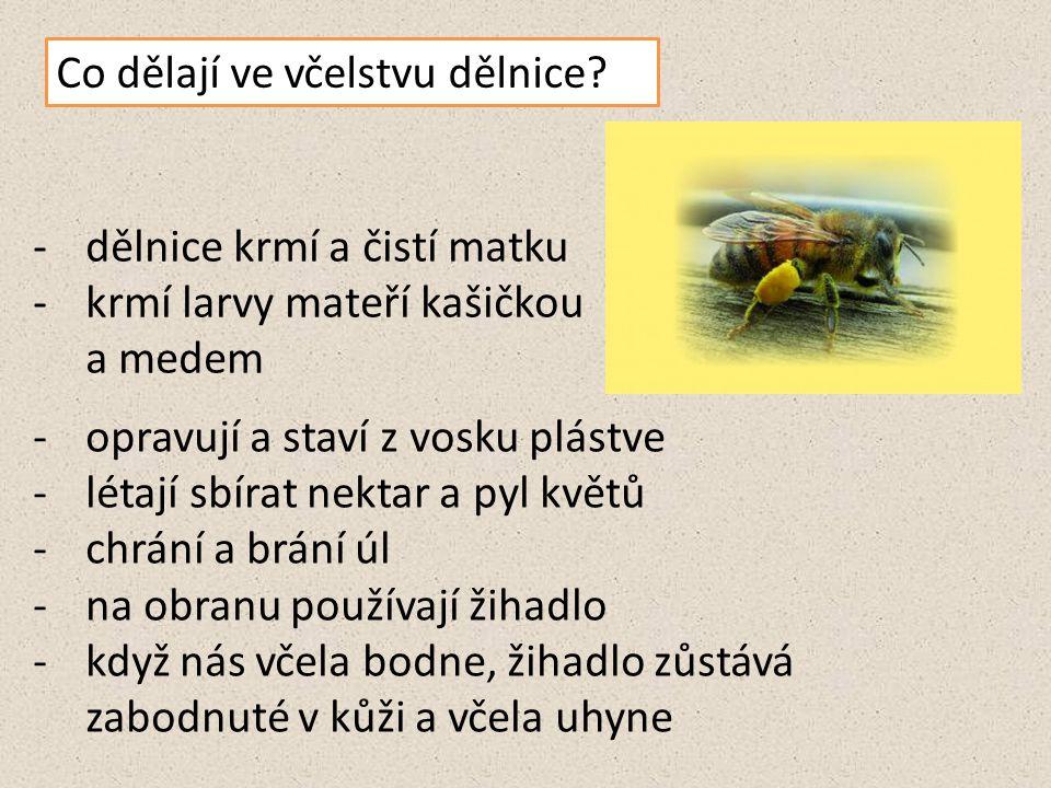 Co dělají ve včelstvu dělnice? -dělnice krmí a čistí matku -krmí larvy mateří kašičkou a medem -opravují a staví z vosku plástve -létají sbírat nektar