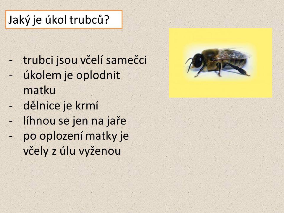 Jaký je úkol trubců? -trubci jsou včelí samečci -úkolem je oplodnit matku -dělnice je krmí -líhnou se jen na jaře -po oplození matky je včely z úlu vy