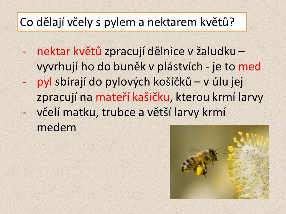 Co dělají včely s pylem a nektarem květů? -nektar květů zpracují dělnice v žaludku – vyvrhují ho do buněk v plástvích - je to med -pyl sbírají do pylo