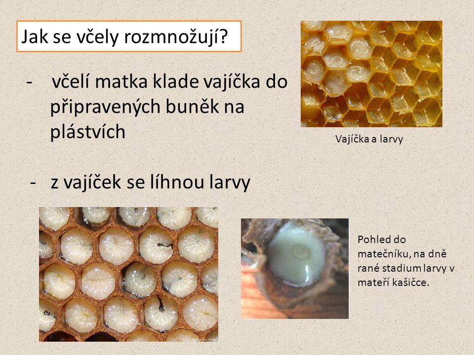 Jak se včely rozmnožují? - včelí matka klade vajíčka do připravených buněk na plástvích Vajíčka a larvy - z vajíček se líhnou larvy Pohled do matečník