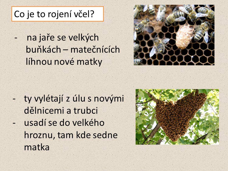 Co je to rojení včel? - na jaře se velkých buňkách – matečnících líhnou nové matky -ty vylétají z úlu s novými dělnicemi a trubci -usadí se do velkého