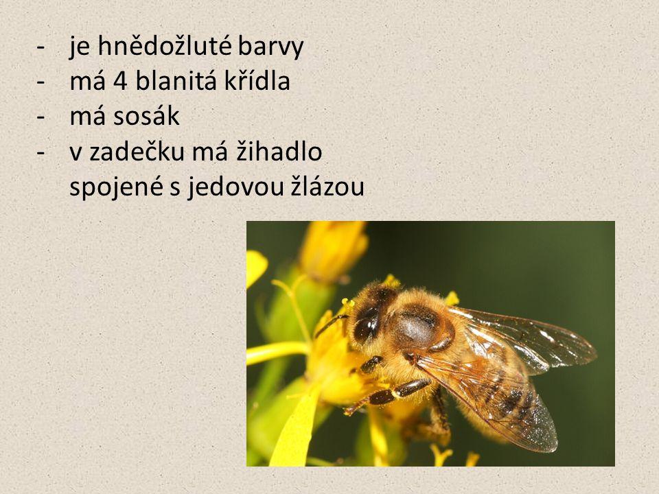 Stavba těla hlava sosák tykadlo hruď nohy zadeček křídla pylový košíček