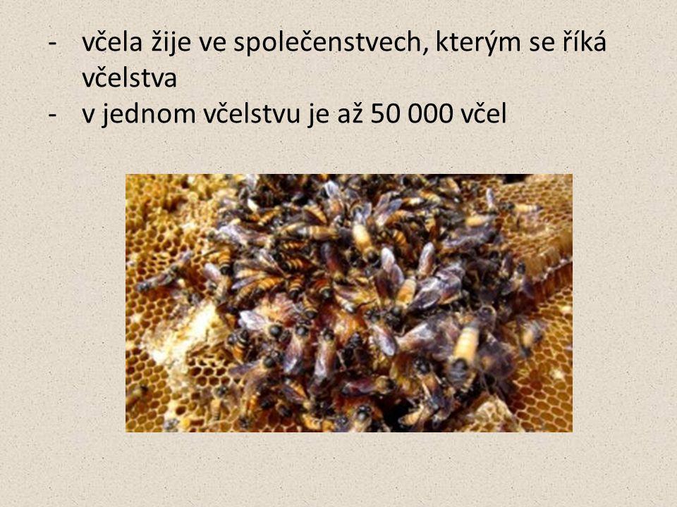 -včela žije ve společenstvech, kterým se říká včelstva -v jednom včelstvu je až 50 000 včel