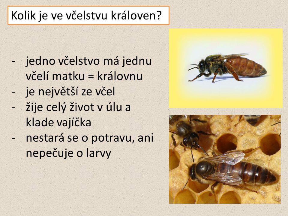 Kolik je ve včelstvu královen? -jedno včelstvo má jednu včelí matku = královnu -je největší ze včel -žije celý život v úlu a klade vajíčka -nestará se
