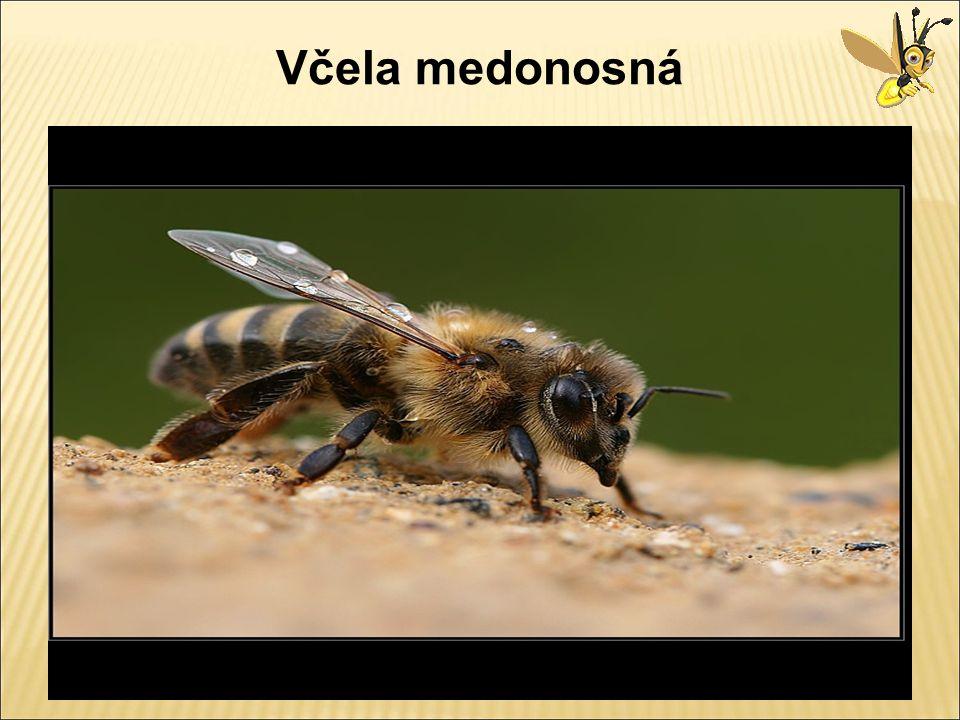 Matka – královna - základem včelstva - po vylíhnutí usmrtí všechny nevylehlé královny a vydává se na svatební let - její úlohou je klást vajíčka - celý život je krmená tzv.