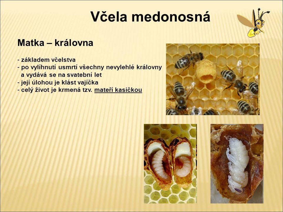 Včela medonosná Matka – královna - starší královna opouští úl nebo vyjíměčně se ve včelstvu nacházejí dvě matky Rojení včel