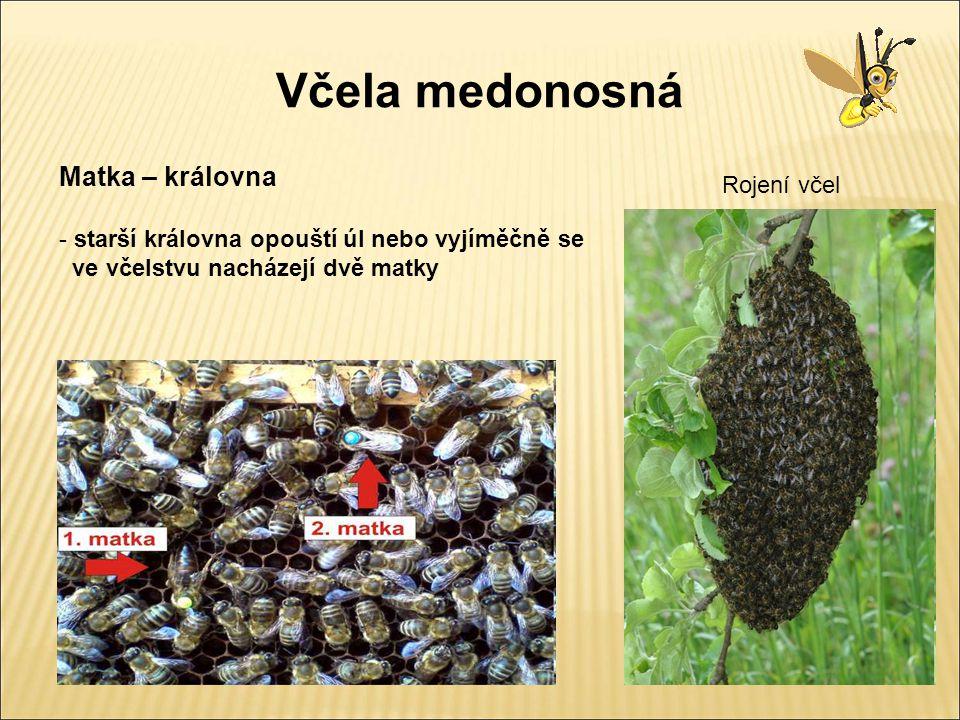 Včelí souboj souboj dvou matek zapíchnuté žihadlo v matce