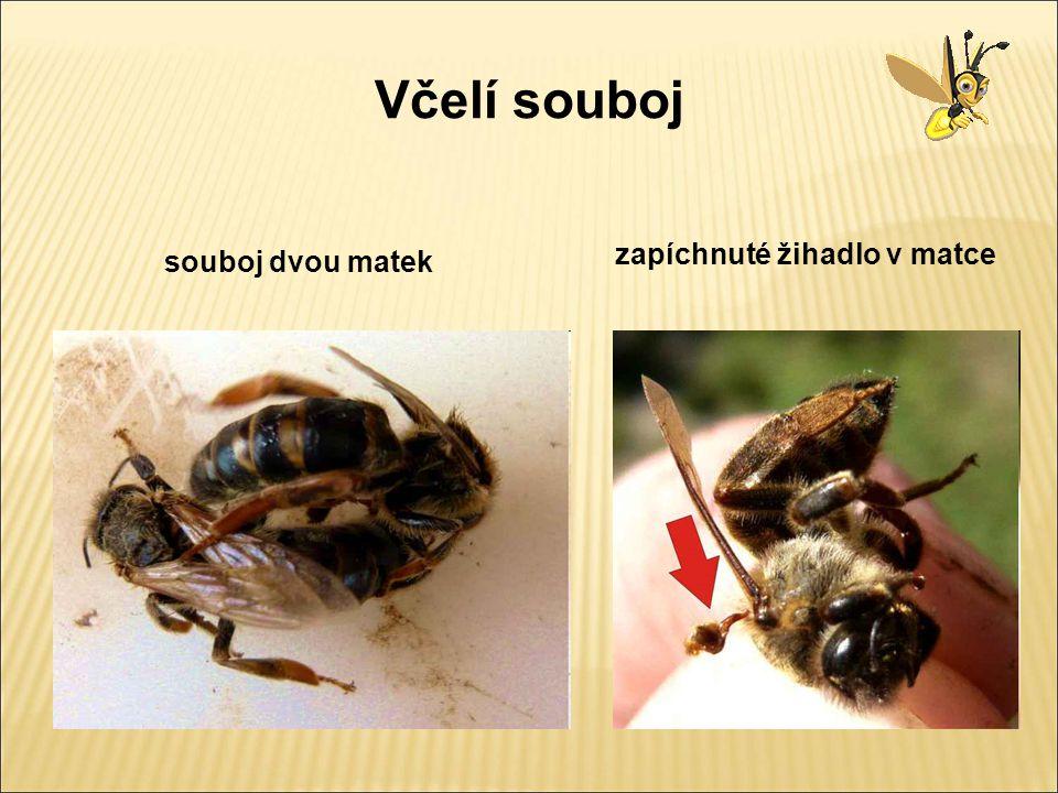 Včela medonosná Dělnice 3 dni čistička 4 dne krmička 6 dne kojička 12 dne stavitelka strážkyně 18 dne strážkyně 21 dne létavka