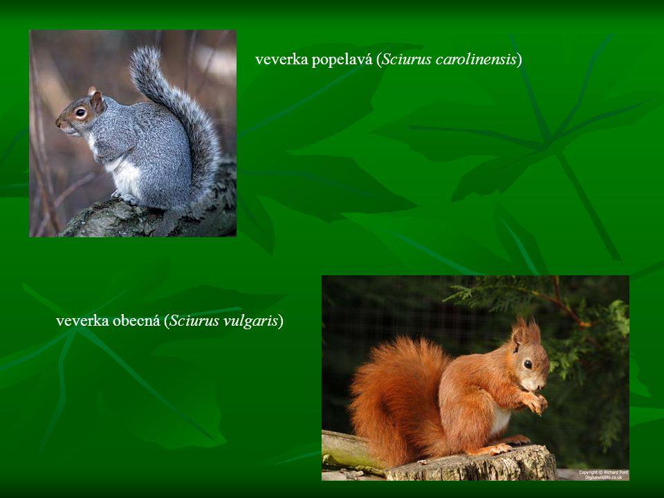 veverka popelavá (Sciurus carolinensis) veverka obecná (Sciurus vulgaris)