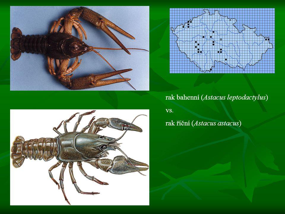 rak bahenní (Astacus leptodactylus) vs. rak říční (Astacus astacus)