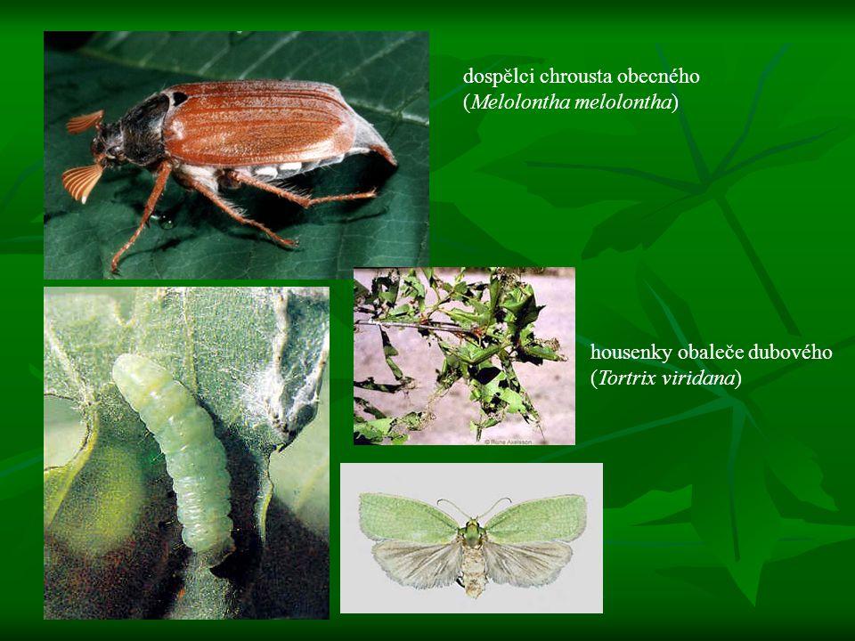 dospělci chrousta obecného (Melolontha melolontha) housenky obaleče dubového (Tortrix viridana)