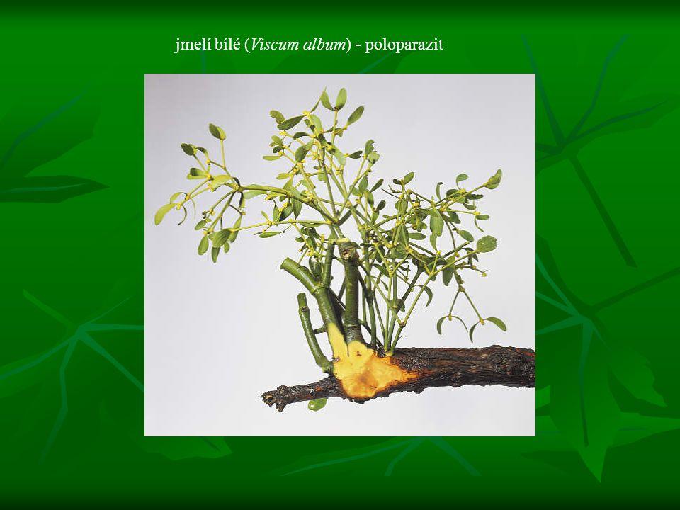 jmelí bílé (Viscum album) - poloparazit