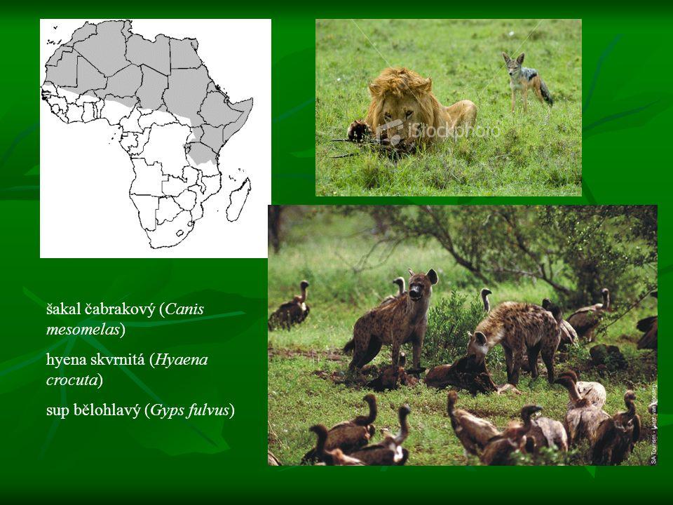 šakal čabrakový (Canis mesomelas) hyena skvrnitá (Hyaena crocuta) sup bělohlavý (Gyps fulvus)