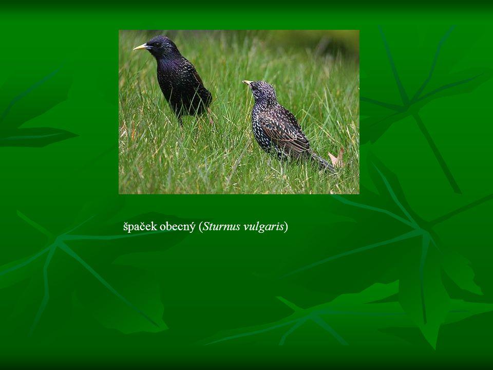 volavka rusovlasá (Bubulcus ibis)