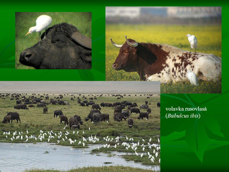 Konkurence populace dvou nebo více druhů se navzájem negativně ovlivňují čerpáním stejných životních potřeb z téhož prostoru populace dvou nebo více druhů se navzájem negativně ovlivňují čerpáním stejných životních potřeb z téhož prostoru jejich ekologické niky se překrývají jejich ekologické niky se překrývají výsledek: strádání populací obou druhů nebo jeden z nich vytěsní druhého ze společného prostoru výsledek: strádání populací obou druhů nebo jeden z nich vytěsní druhého ze společného prostoru vnitrodruhová X mezidruhová vnitrodruhová X mezidruhová např.
