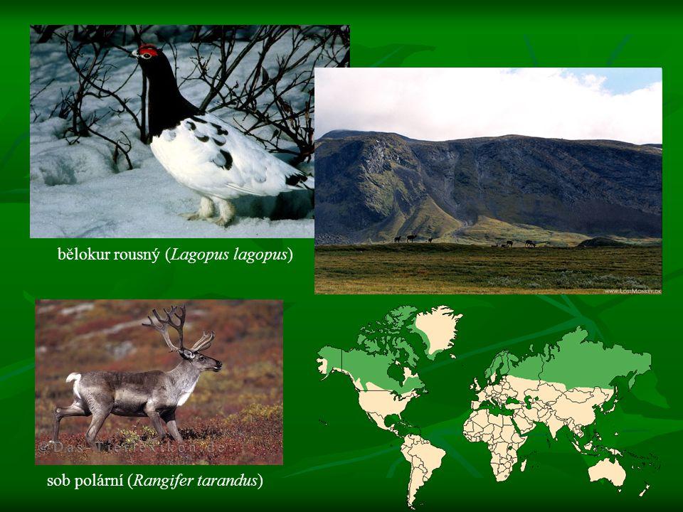 bělokur rousný (Lagopus lagopus) sob polární (Rangifer tarandus)
