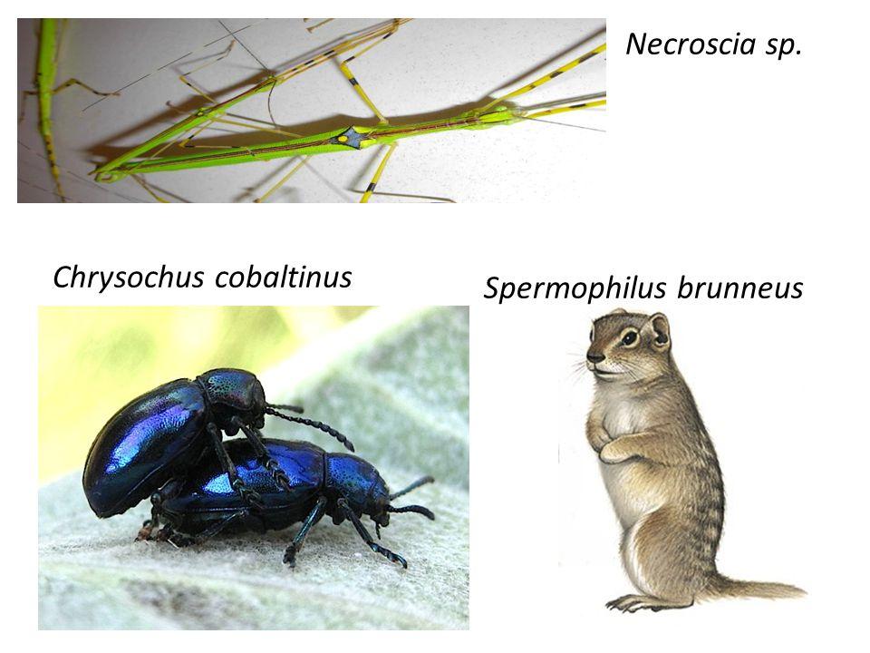 Chrysochus cobaltinus Necroscia sp. Spermophilus brunneus