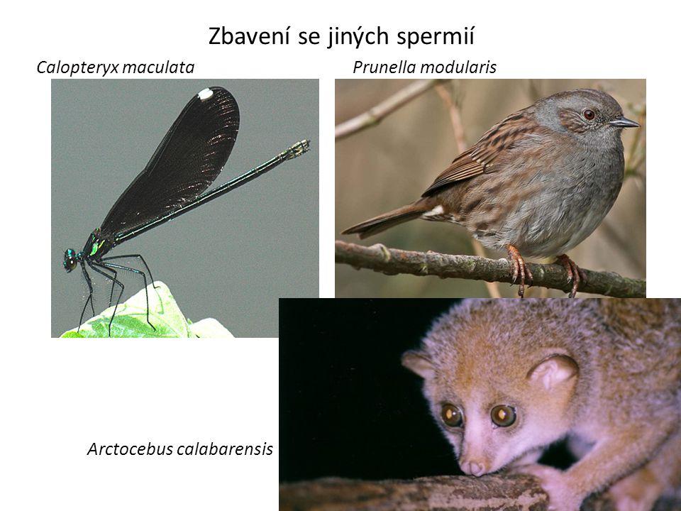 Zbavení se jiných spermií Calopteryx maculata Arctocebus calabarensis Prunella modularis