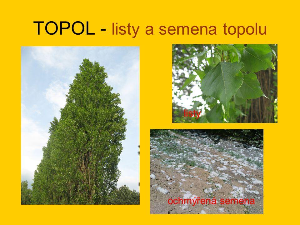 TOPOL - listy a semena topolu listy ochmýřená semena