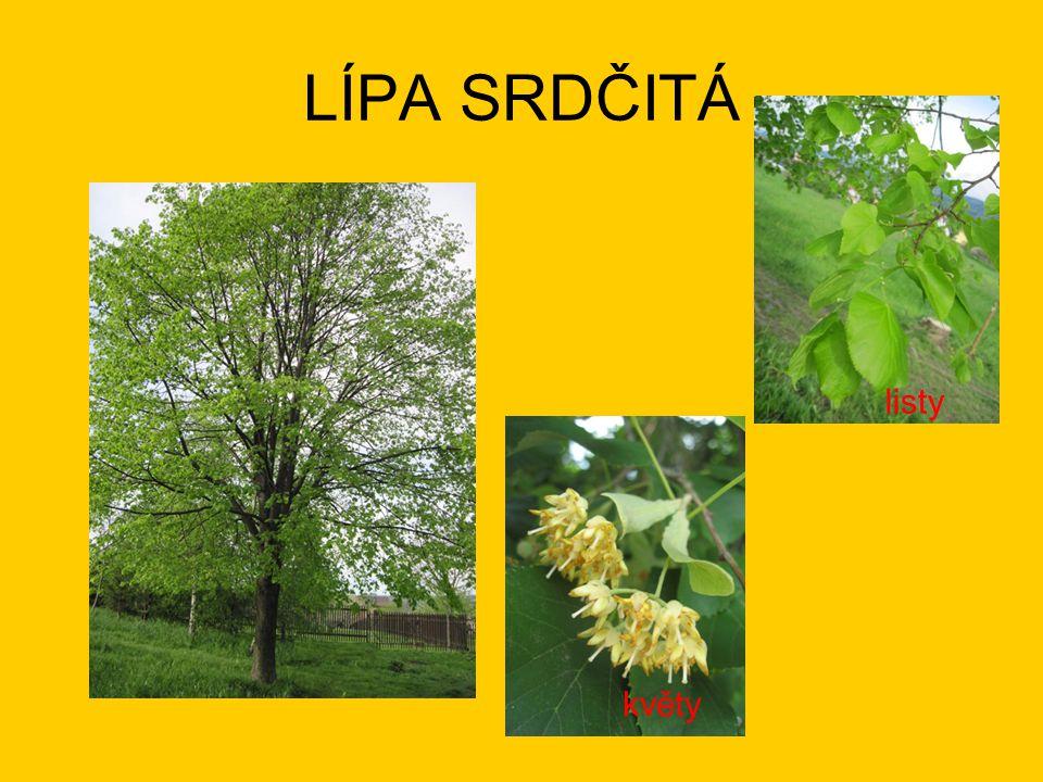 LÍPA SRDČITÁ listy květy