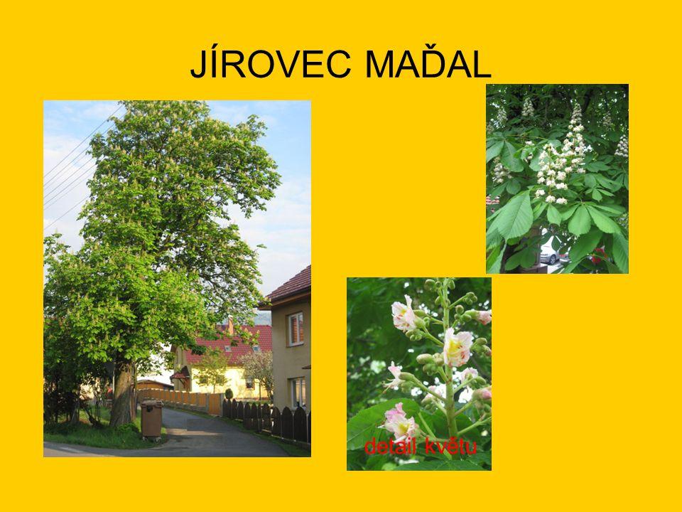 JÍROVEC MAĎAL detail květu