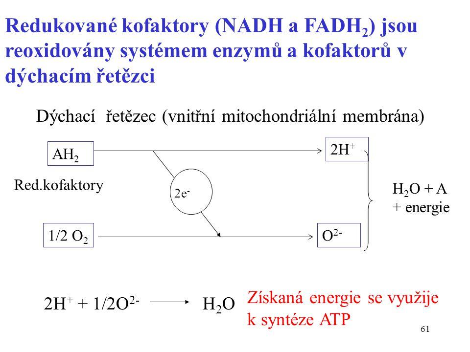 61 Redukované kofaktory (NADH a FADH 2 ) jsou reoxidovány systémem enzymů a kofaktorů v dýchacím řetězci Dýchací řetězec (vnitřní mitochondriální memb