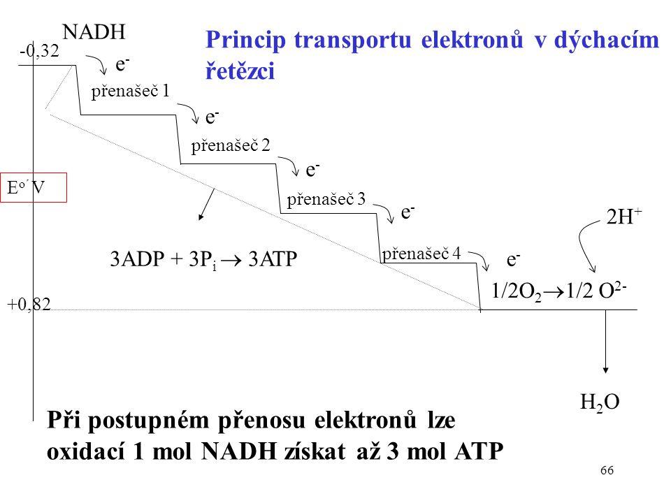 66 -0,32 NADH přenašeč 1 e - přenašeč 2 přenašeč 3 přenašeč 4 1/2O 2  1/2 O 2- e - 2H + H2OH2O +0,82 E o´ V Princip transportu elektronů v dýchacím ř