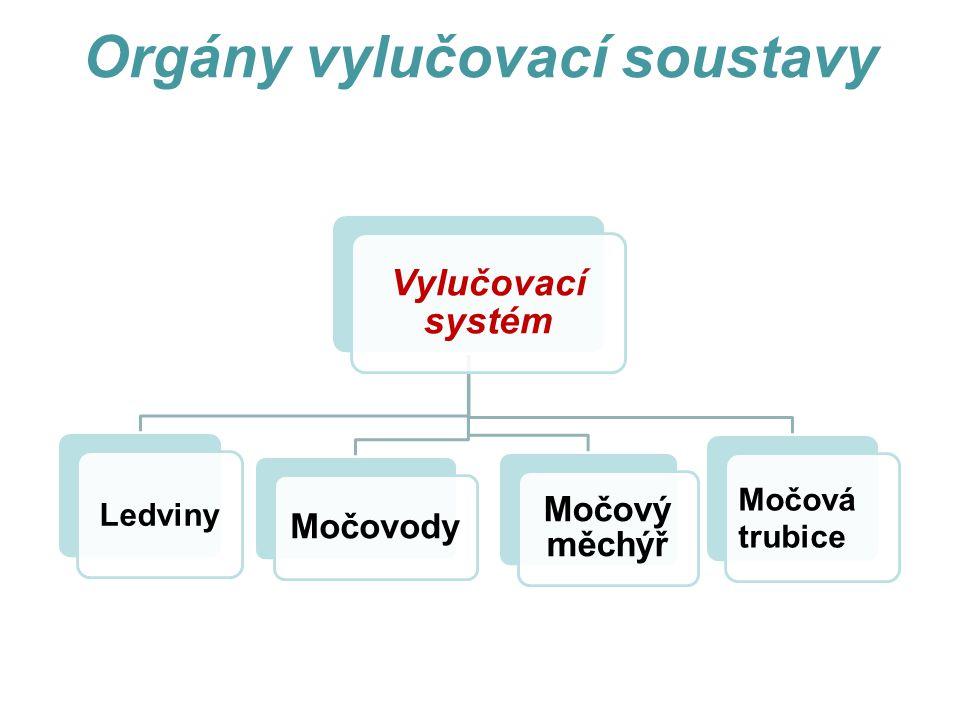 Orgány vylučovací soustavy Vylučovací systém Ledviny Močovody Močový měchýř Močová trubice
