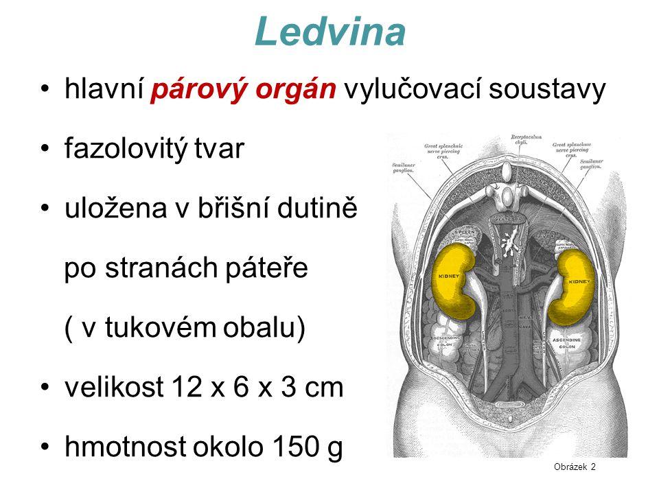 Ledvina hlavní párový orgán vylučovací soustavy fazolovitý tvar uložena v břišní dutině po stranách páteře ( v tukovém obalu) velikost 12 x 6 x 3 cm hmotnost okolo 150 g Obrázek 2