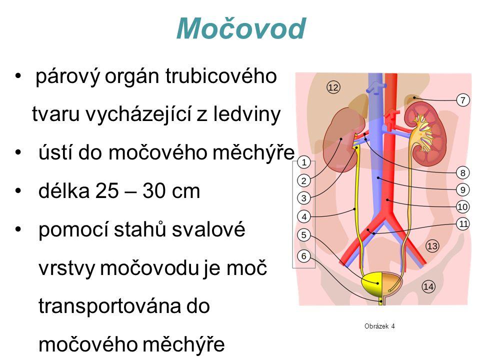 Močový měchýř dutý svalový orgán tvaru hruškovitého vaku uložen v pánvi za stydkou sponou (po naplnění se mnohokrát zvětší a zasahuje až do břišní dutiny k pupku) Močovody ústí do měchýře; po naplnění se jejich ústí uzavře, aby moč nemohla dále přitékat objem 600 – 1200 ml (nutkání k močení při naplnění 250 – 400 ml) Obrázek 5