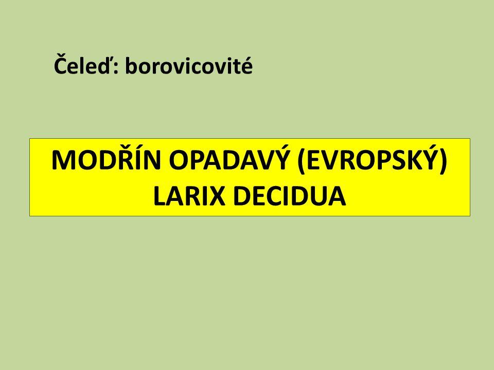 MODŘÍN OPADAVÝ (EVROPSKÝ) LARIX DECIDUA Čeleď: borovicovité