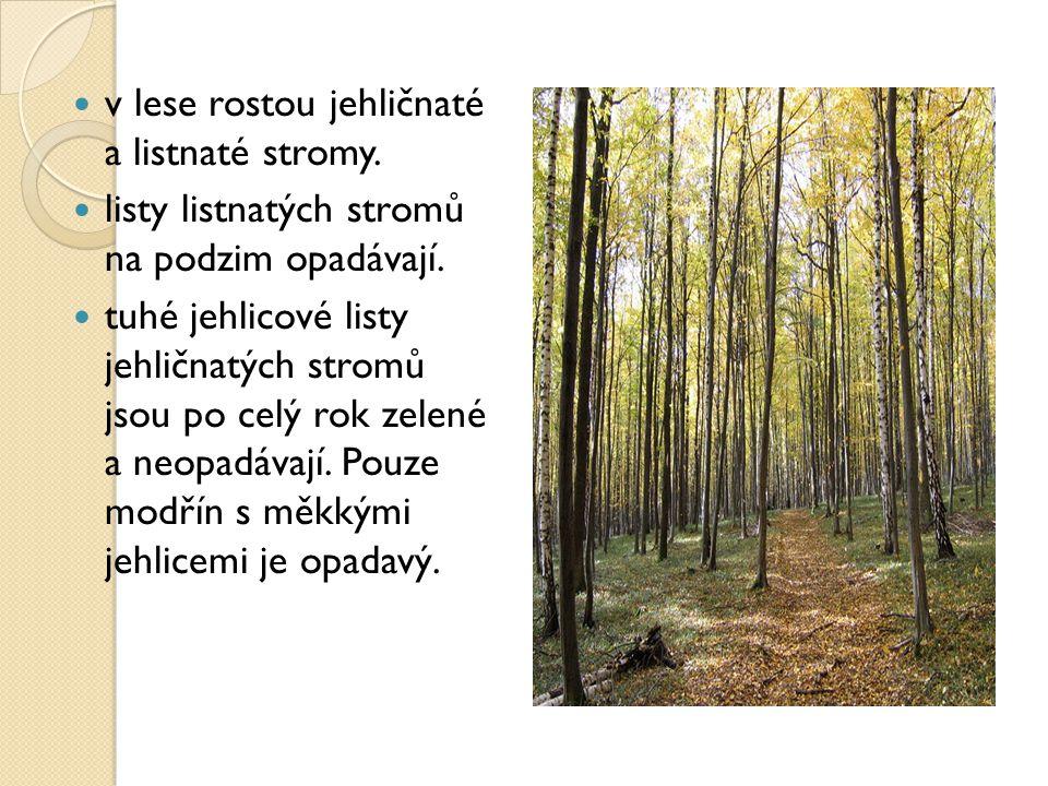 v lese rostou jehličnaté a listnaté stromy. listy listnatých stromů na podzim opadávají. tuhé jehlicové listy jehličnatých stromů jsou po celý rok zel