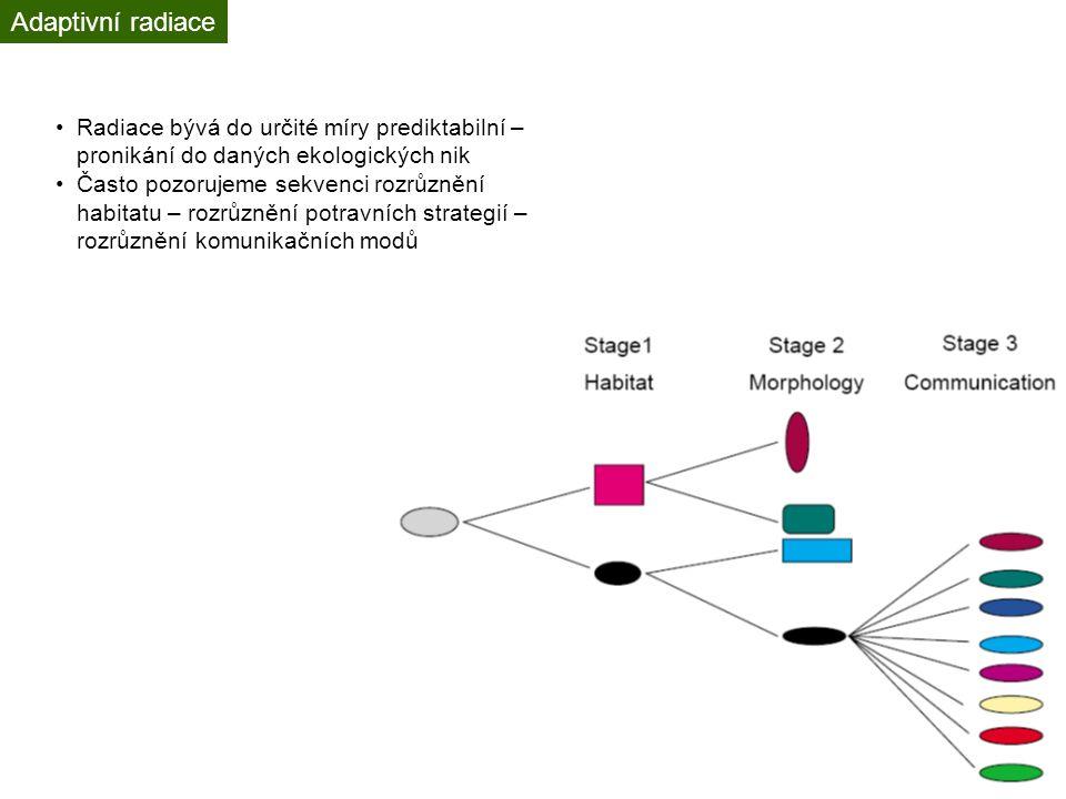 Adaptivní radiace Radiace bývá do určité míry prediktabilní – pronikání do daných ekologických nik Často pozorujeme sekvenci rozrůznění habitatu – rozrůznění potravních strategií – rozrůznění komunikačních modů