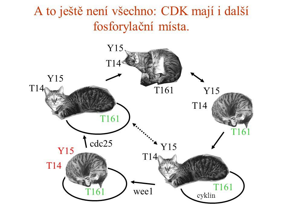 A to ještě není všechno: CDK mají i další fosforylační místa.