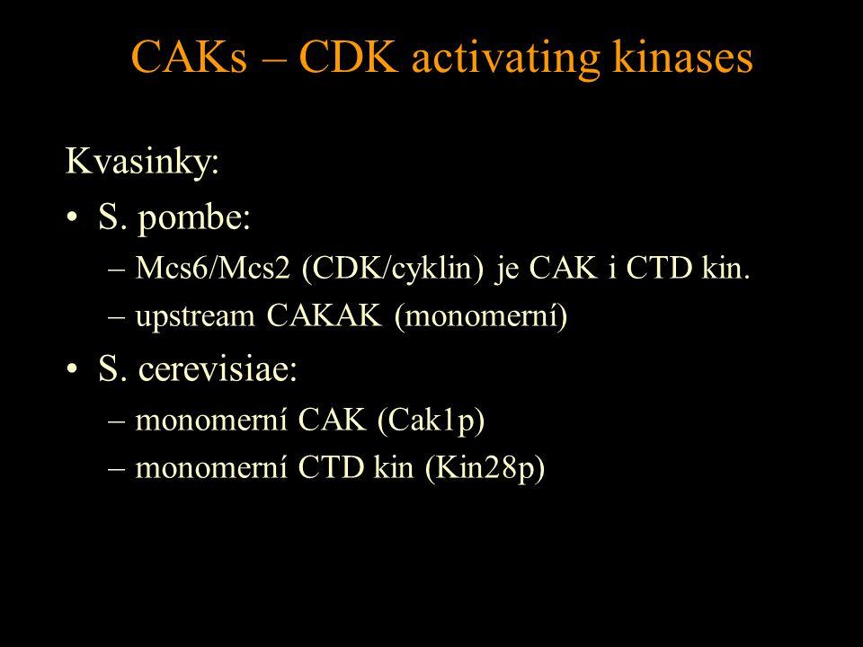 CAKs – CDK activating kinases Kvasinky: S. pombe: –Mcs6/Mcs2 (CDK/cyklin) je CAK i CTD kin.