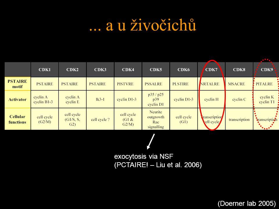 (Doerner lab 2005) exocytosis via NSF (PCTAIRE! – Liu et al. 2006)... a u živočichů