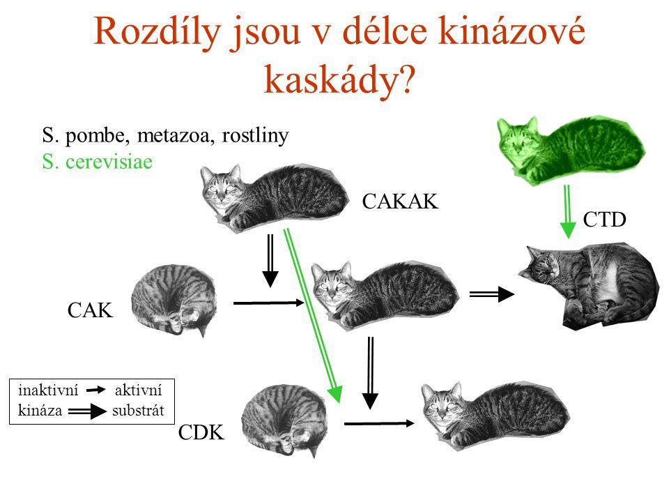 Rozdíly jsou v délce kinázové kaskády. CDK CAK CAKAK S.