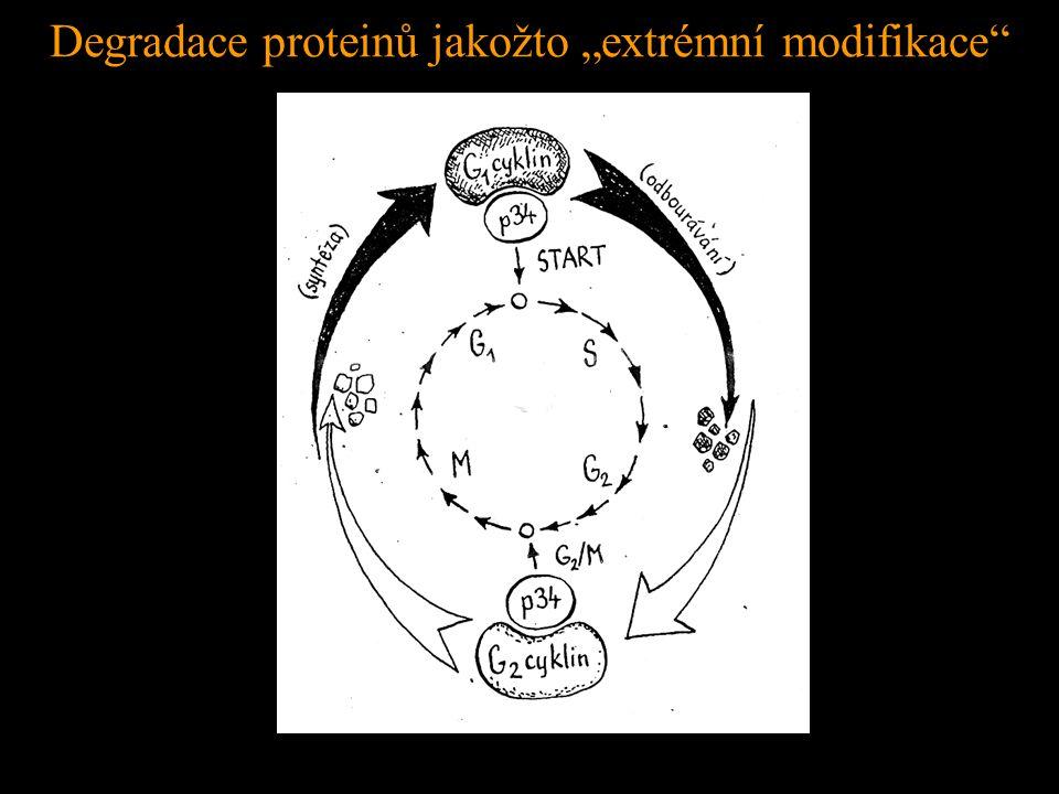 """Degradace proteinů jakožto """"extrémní modifikace"""