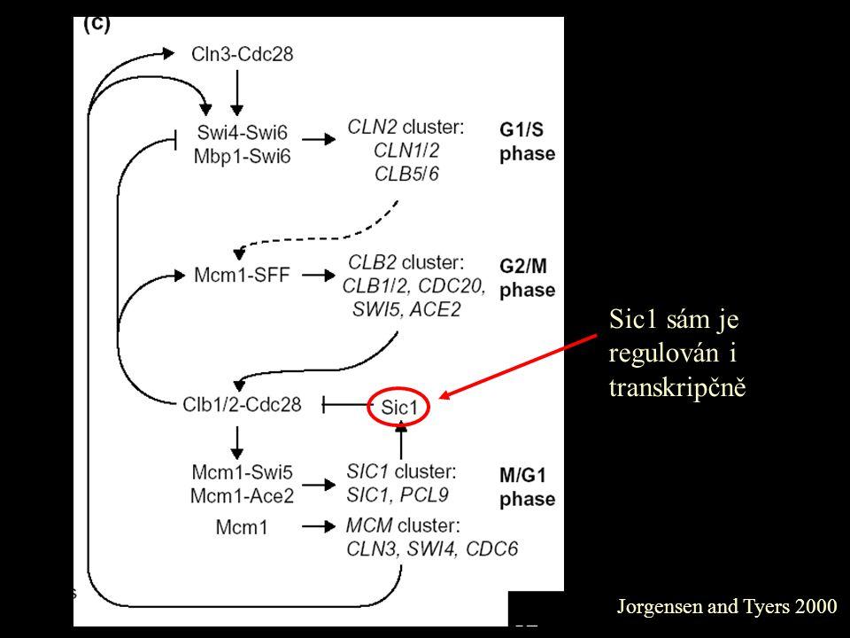 Jorgensen and Tyers 2000 Sic1 sám je regulován i transkripčně