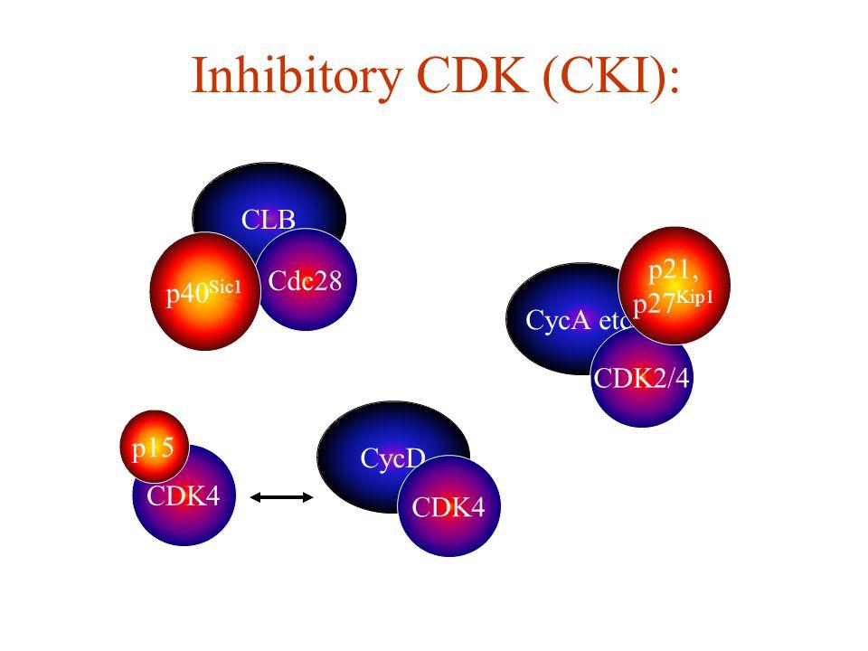 CycD CLB Inhibitory CDK (CKI): Cdc28 CDK4 CycA etc. CDK2/4 p40 Sic1 p15 p21, p27 Kip1