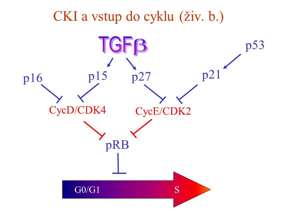CKI a vstup do cyklu (živ. b.) G0/G1 S pRB CycD/CDK4 CycE/CDK2 p15 p16 p21 p27 p53