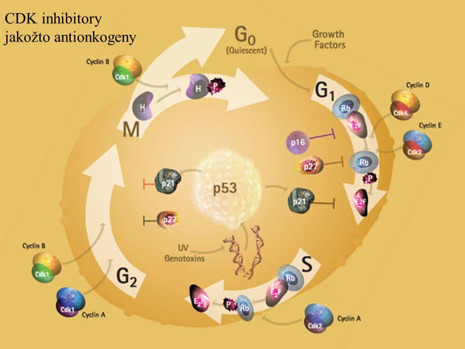 CDK inhibitory jakožto antionkogeny